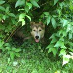 Vorverurteilt: Hilfe ich bin ein Husky